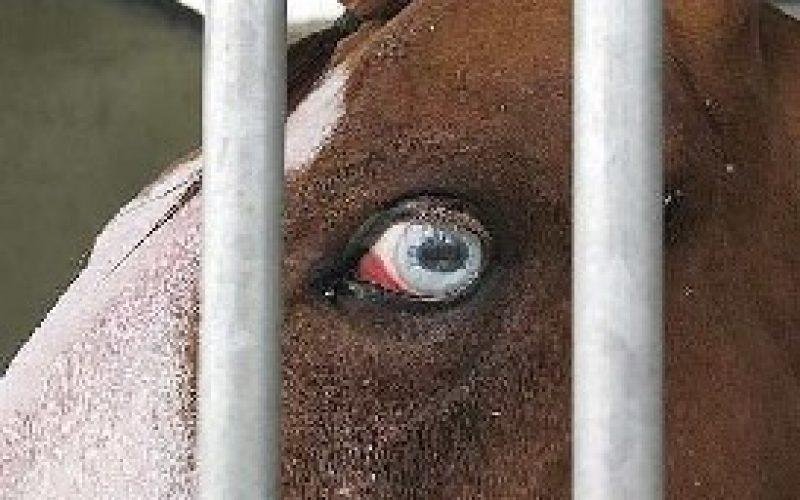 Furtaram cavalos por boas razões