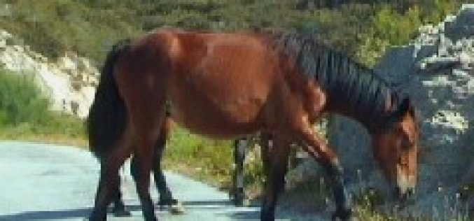 Plea from a Town Councillor «Stop Horse Slaughter»