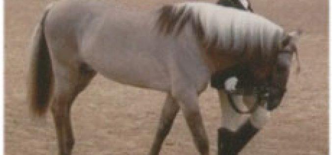The Sorraia horse as a Christmas theme