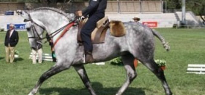 Portugal's best lusitano stock on show in Cascais