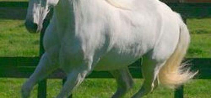 CL vai criar Fundação para preservar o cavalo Lusitano