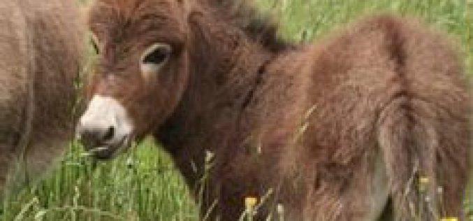 Leilão de dez burros da raça Zamorana rendeu 7.300 € !!