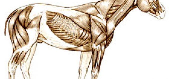 Curso prático de osteopatia e massagem equina