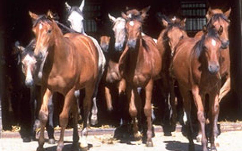 ALERTA: Ladrões roubaram égua Lusitana da Coudelaria José Cadima