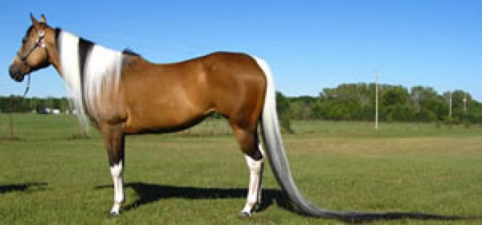 Paint horse has world's longest tail
