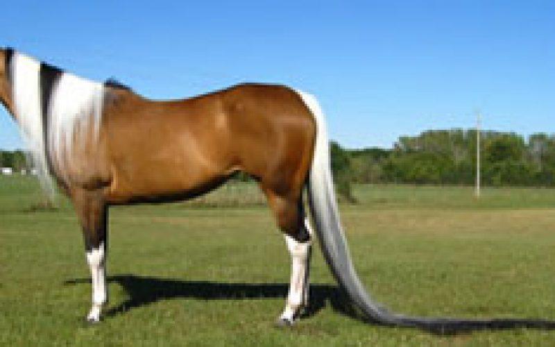 Paint horse has world's longest tail