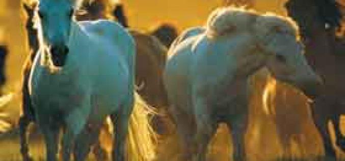 Horses Understand Humans