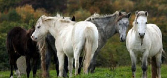 Ireland's Horse Crisis