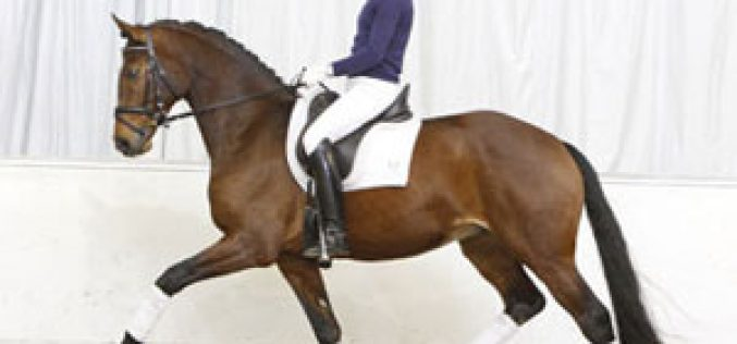 Hanoverian riding and pleasure horses in one collection in Verden
