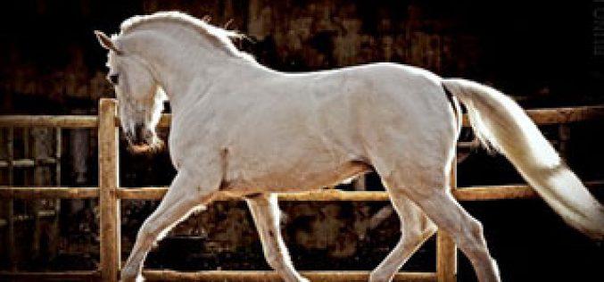Fórum e Debate: A selecção do Cavalo Lusitano: Será a Osteocondrose um factor limitante?