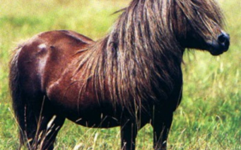 The speed of the Thoroughbred derives from the Shetland