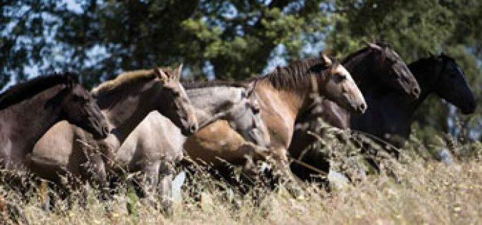 Crise faz aumentar o abate de cavalos Lusitanos