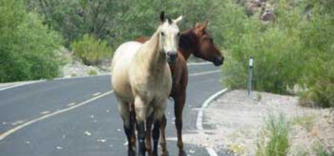 Centenas de cavalos abandonados em terrenos em Sintra (vídeo)