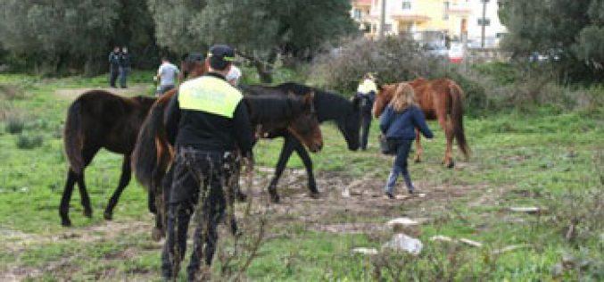 Cavalos doentes e com fome resgatados em Cascais
