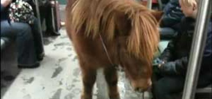 Shetland pony takes a ride on Berlin subway