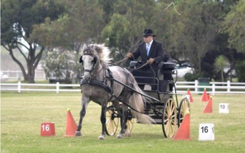 África do Sul: Lusitano considerado melhor cavalo debutante na Atrelagem