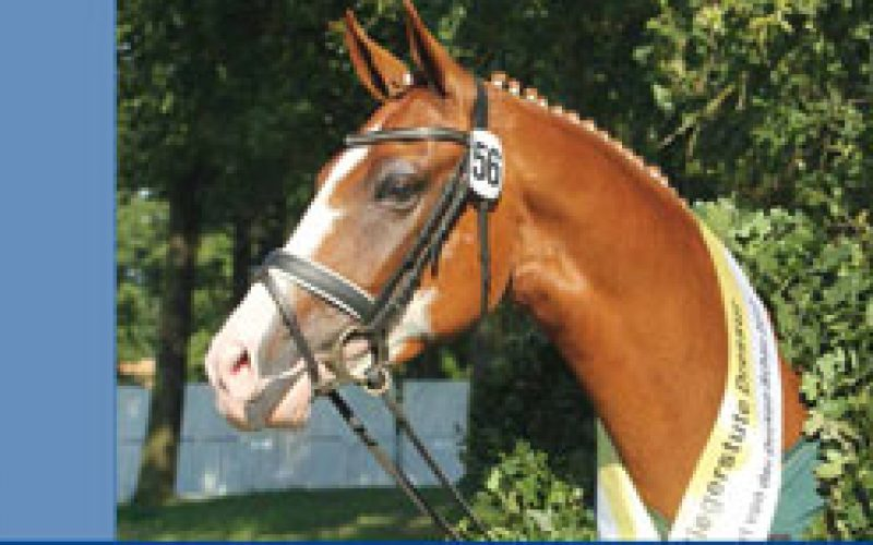 The best Hanoverian mare families at Verden