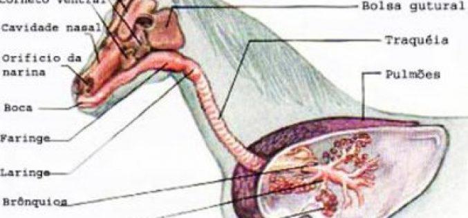 Obstrução esofágica (Choke)