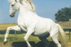Opus 72 – o pequeno grande cavalo