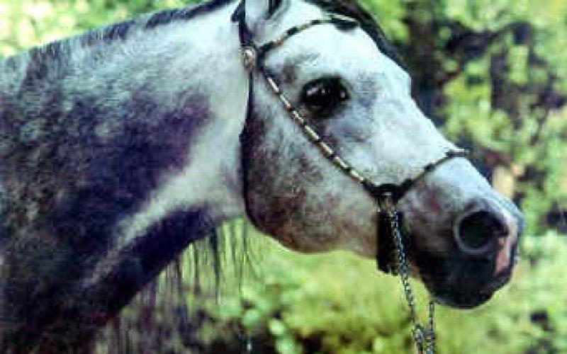 O Cavalo Puro Sangue Árabe