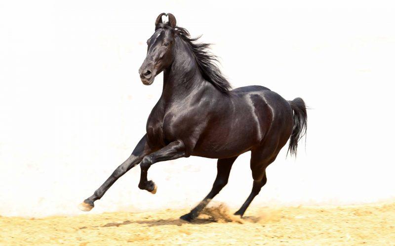 O Cavalo Marwari, esse desconhecido…