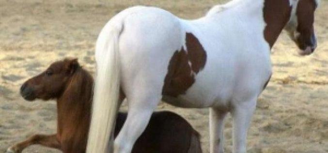 Presos os 4 homens que roubaram o cavalo mais pequeno do mundo