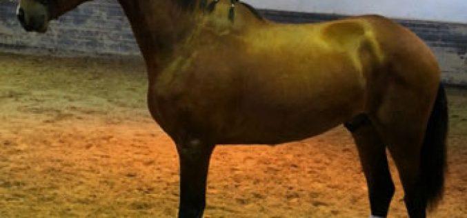 Monte Velho apresenta o seu «MUSTANG» (VÍDEO)