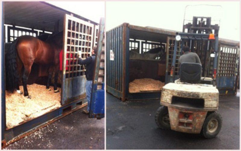 Cavalos dos Açores a caminho de Lisboa