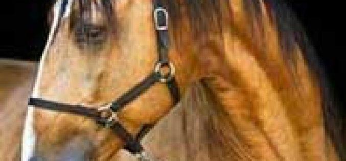 1ª Mostra do Cavalo Puro Sangue Lusitano em Cantanhede