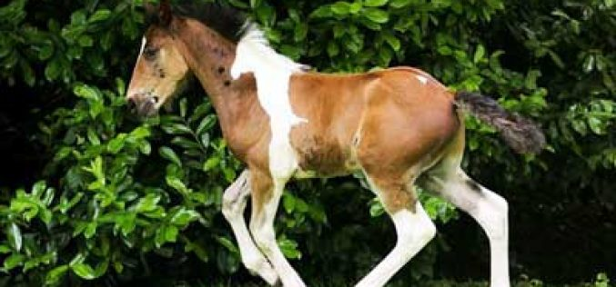 Poldro nasce com silhueta de outro cavalo desenhada na espádua (VÍDEO)