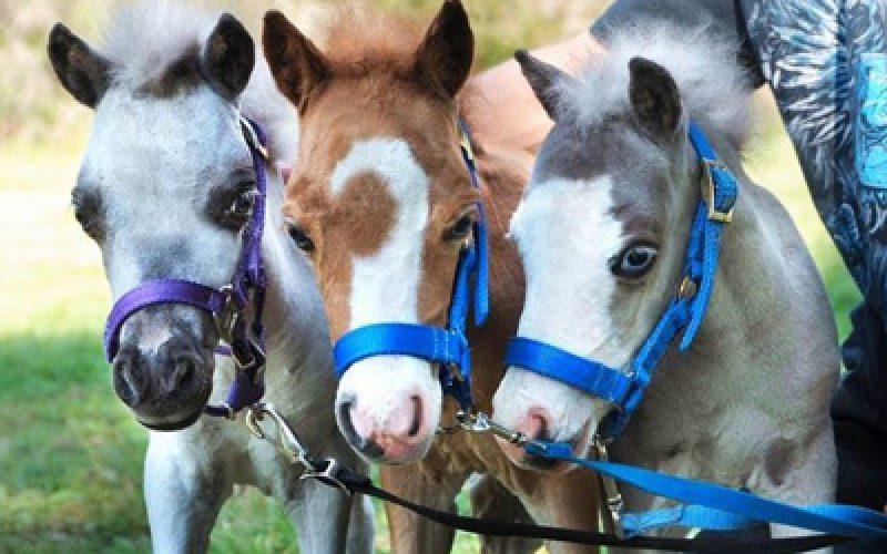 Cavalos em miniatura ajudam quem mais precisa (VÍDEO)