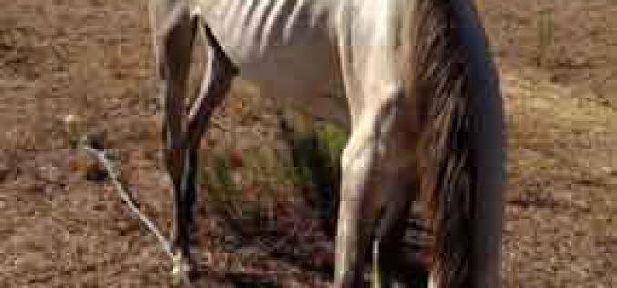 Cavalos Maltratados de Lagoa: Manifestação contra a falta de actuação da DGAV