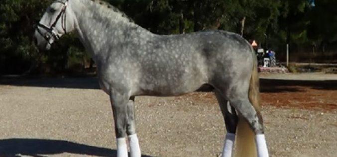 Venda de cavalo Lusitano para cavaleiro de Grande Prémio Alemão (VÍDEO)