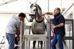 Vilamoura: Spa de água salgada alivia esforço de cavalos de desporto (VÍDEO)