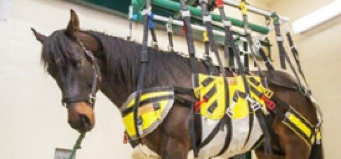 Elevador para reabilitação de cavalos com lesões (VÍDEO)