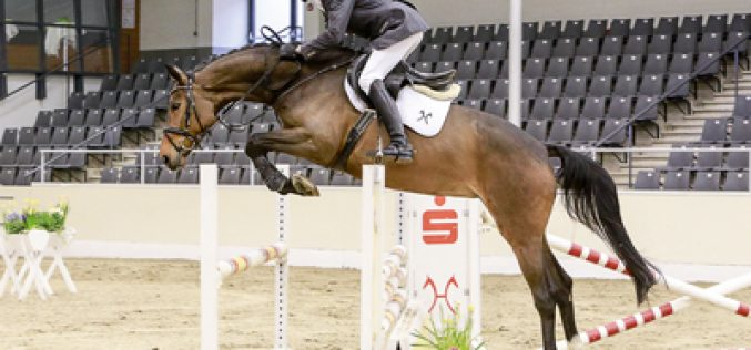 Hanoverians for American hunter-jumper-market