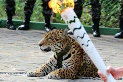 Rio 2016: Onça exibida durante passagem da tocha olímpica é abatida