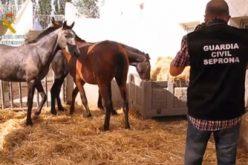 Cavalos portugueses traficados em Espanha (VÍDEO)