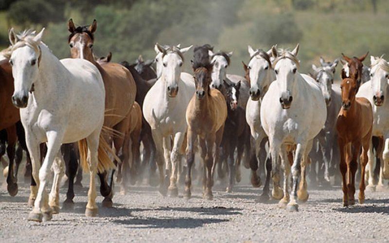 Cavalos também conseguem comunicar com os humanos