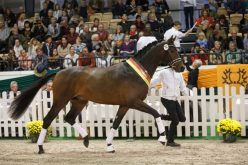 «His Moment» – worthy young champion stallion at the 54th Trakehner Stallion Market