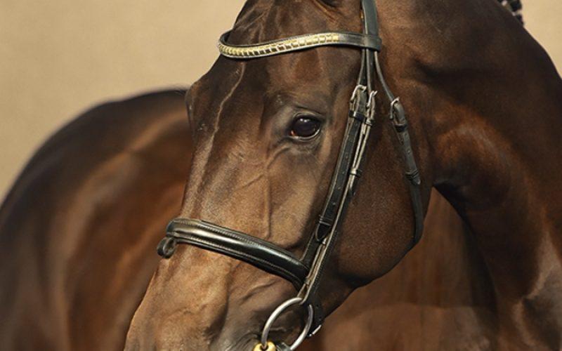 Leilão de cavalos de desporto agendado para Dezembro (VÍDEO)