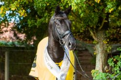 Desperados FRH Hanoverian Stallion of the Year 2016