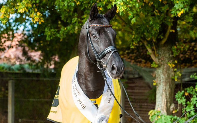 Desperados FRH Hanoverian Stallion of the Year 2016
