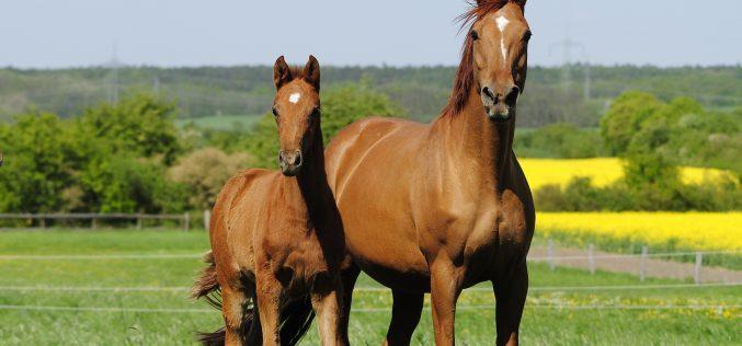 Hanoverian Broodmare and Foal Sales Platform