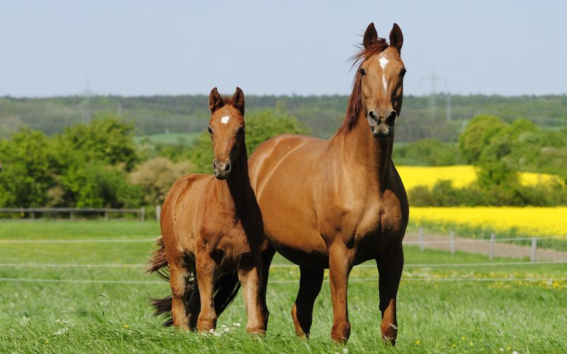 Hanoverian Broodmare and Foal Sales Platform