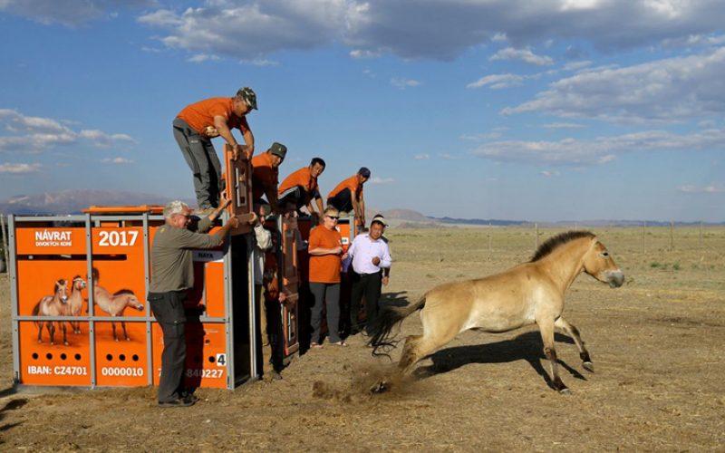 O regresso dos cavalos selvagens da Mongólia