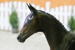 110,000€ for an Oldenburg foal… (VIDEO)
