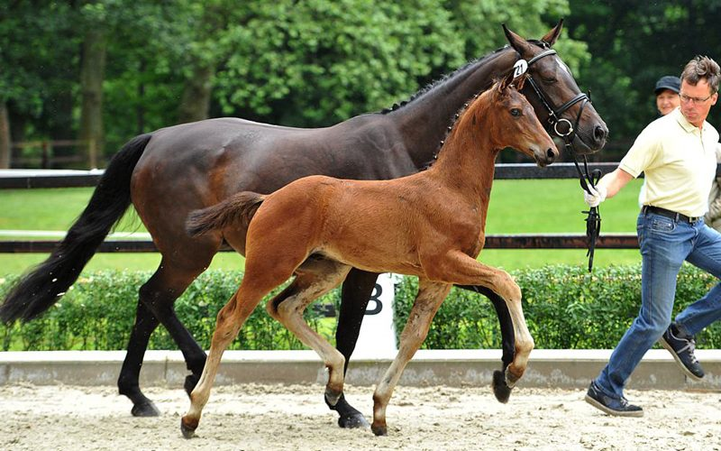 PS is launching the second round online for top quality foals (VIDEO)