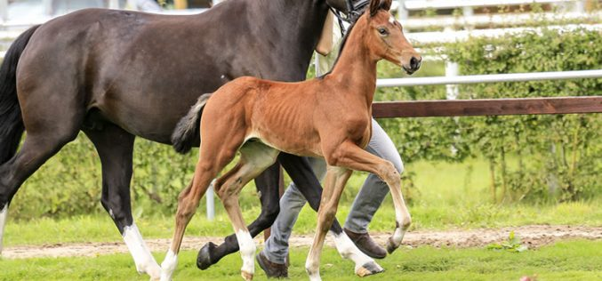 First Verden Foal Gala to introduce the 134th Elite Auction (VIDEO)