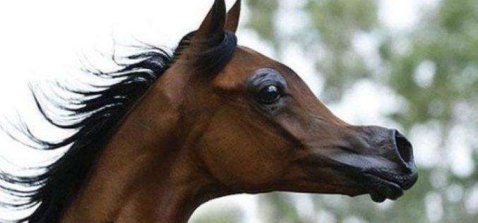 """Criação de cavalos tipo """"desenho animado"""" preocupa veterinários (VÍDEO)"""